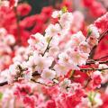 命犯桃花是什么意思