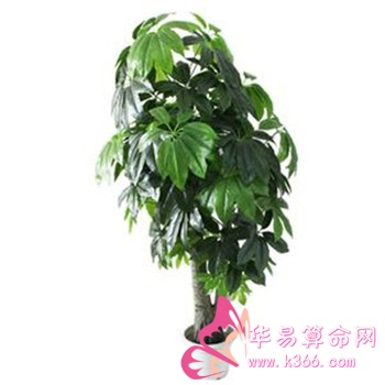 吉祥聚财型 发财树,富贵竹