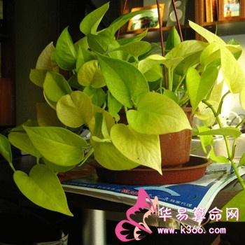 大叶植物如发财树,富贵竹,宽叶榕,七叶莲,棕竹,仙客来,君子兰等都属于
