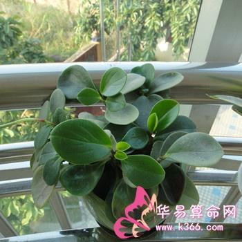 最适宜客厅摆放的植物有:富贵竹