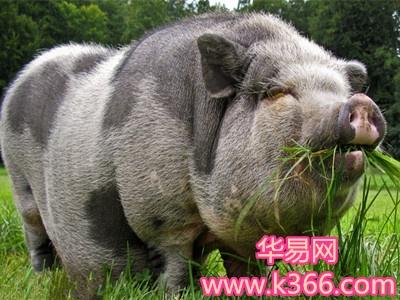 梦见可爱的大肥猪拱自己,这是一个十分吉祥的梦,预示着你不久之后好运
