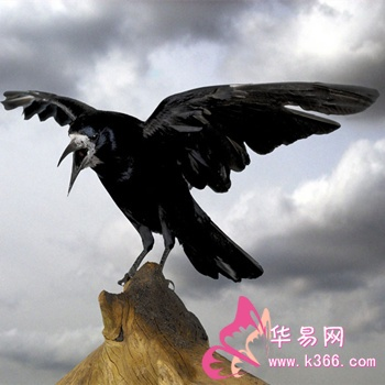 梦见乌鸦 乌鹊