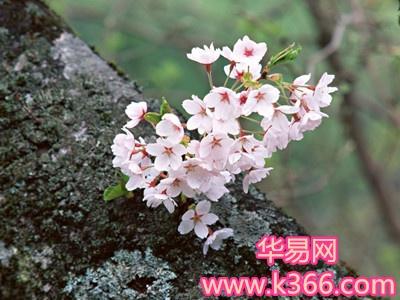 梦见树木开花-梦到树木开花是什么意思-做梦梦见树木